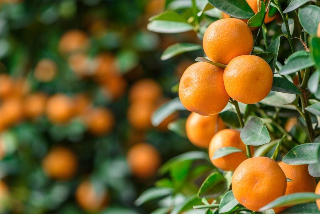 Fresh ripe tangerines on a tree