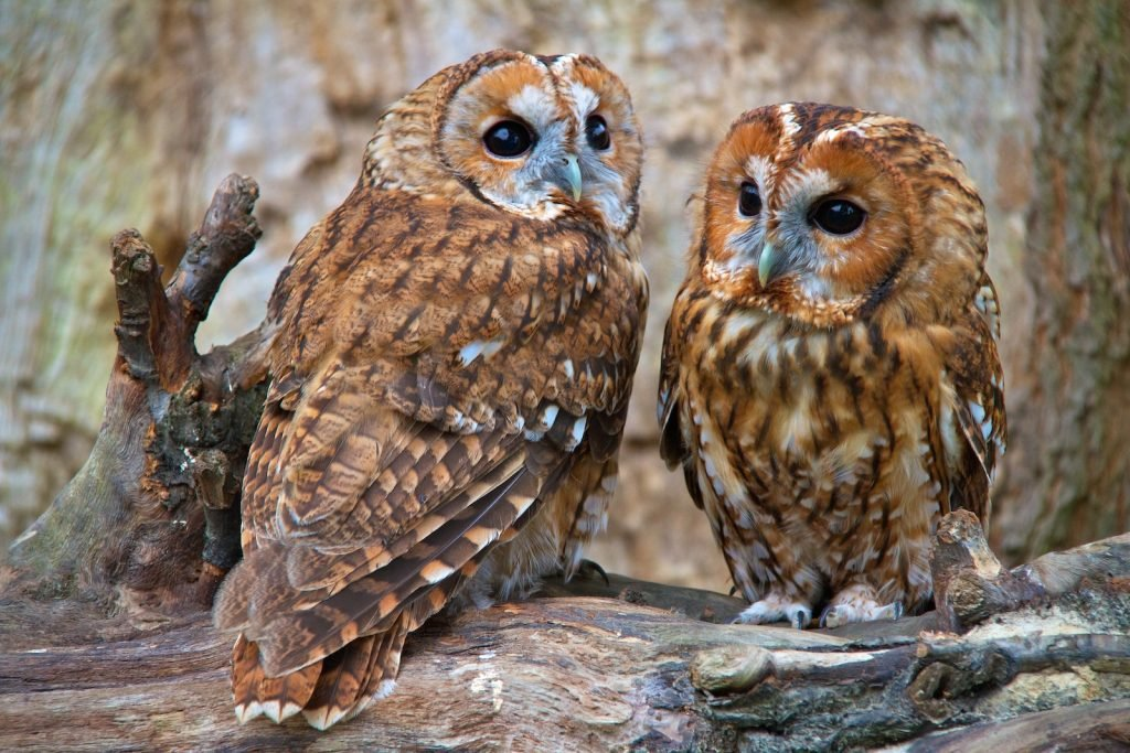 Two Tawny owls sitting in a tree