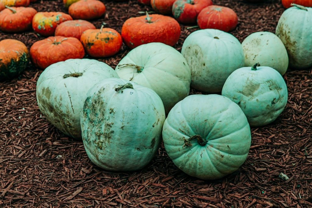 Teal pumpkins lying next to each other on the ground