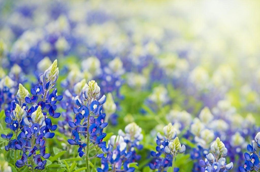 Texas bluebonnet flowers aka Lupinus Texensis blooming in springtime