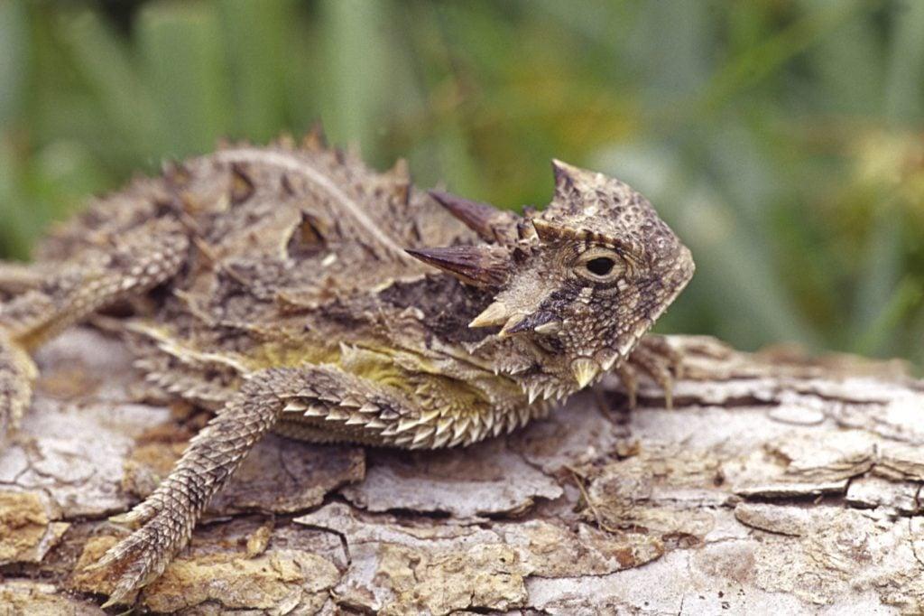 Texas horned lizard on a tree stump