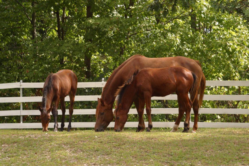 Three Morgan horses in a fold eating grass