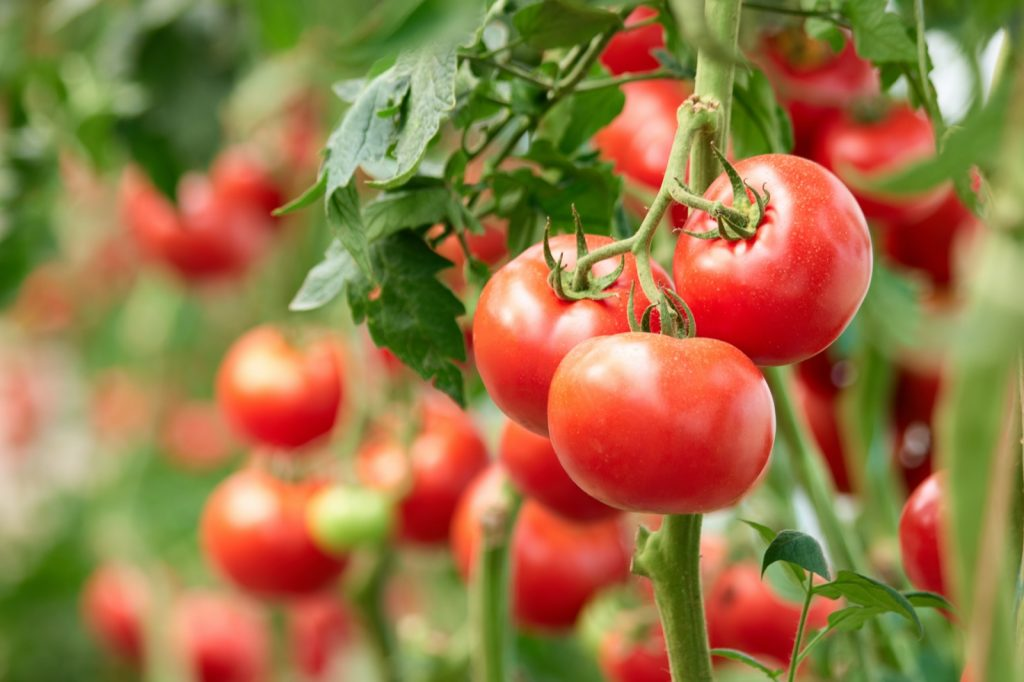 Three ripe tomatoes on a green branch in a greenhouse