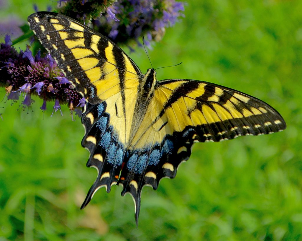 Eastern Tiger Swallowtail feeding on the nectar of anise hyssop