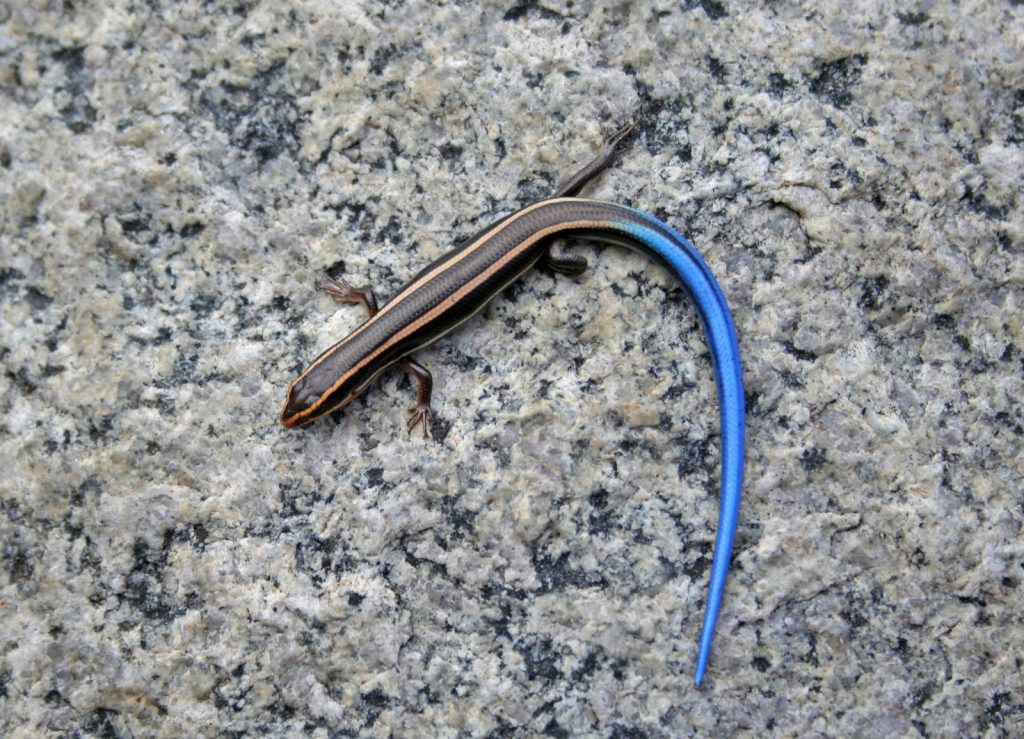 Top view of blue-tailed skink