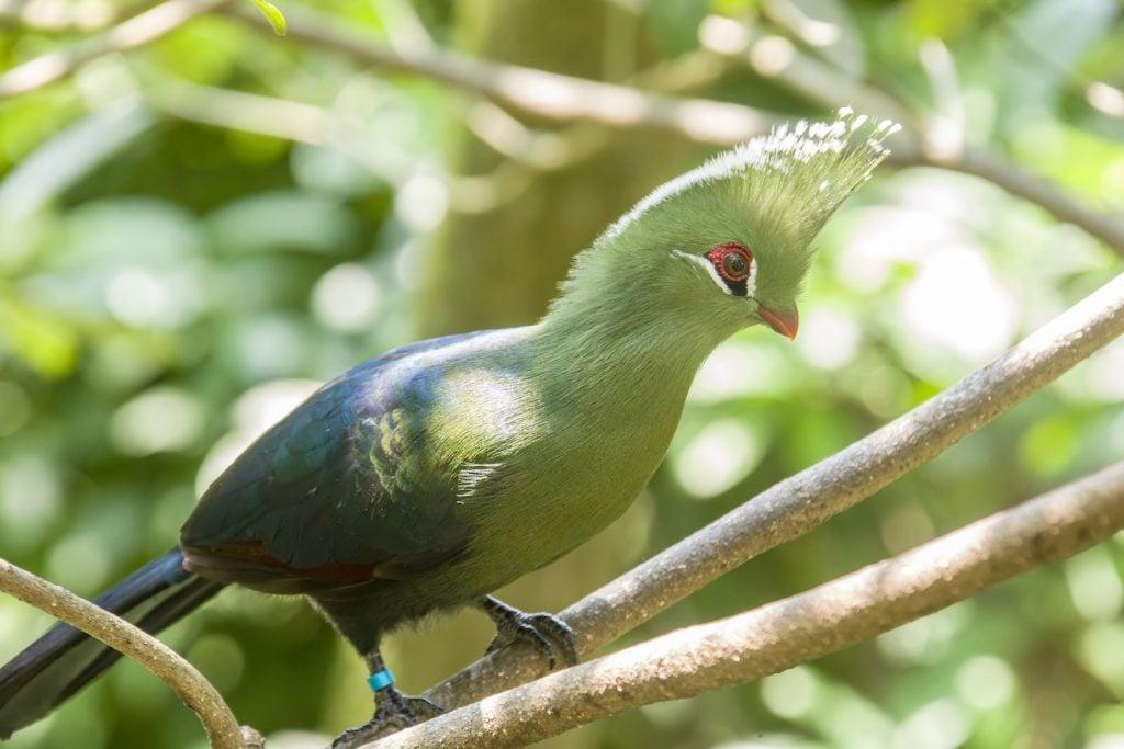 Turaco bird sitting in a tree