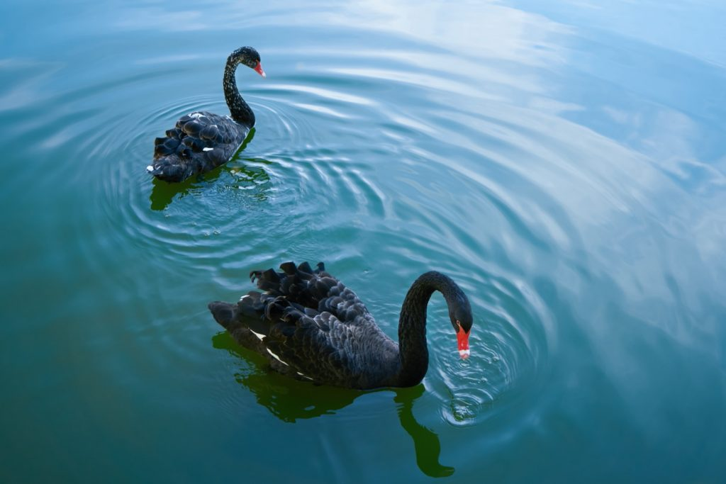 Two black swans floating in a lake