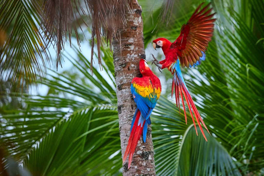 Two colorful red scarlet macaw parrots in a palm tree