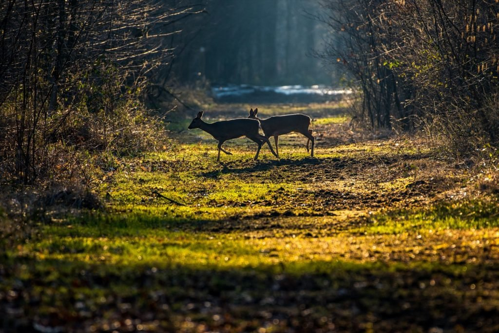 Two deer crossing a narrow pathway surrounded by bushes in the forest