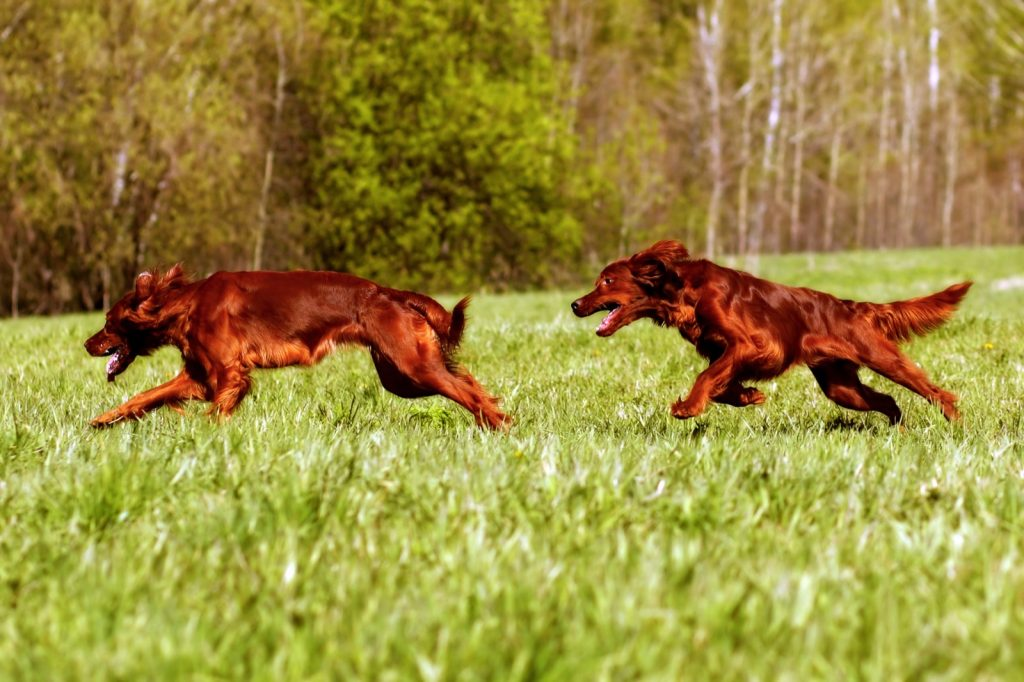 Two Irish setter dogs playing on a field in summer