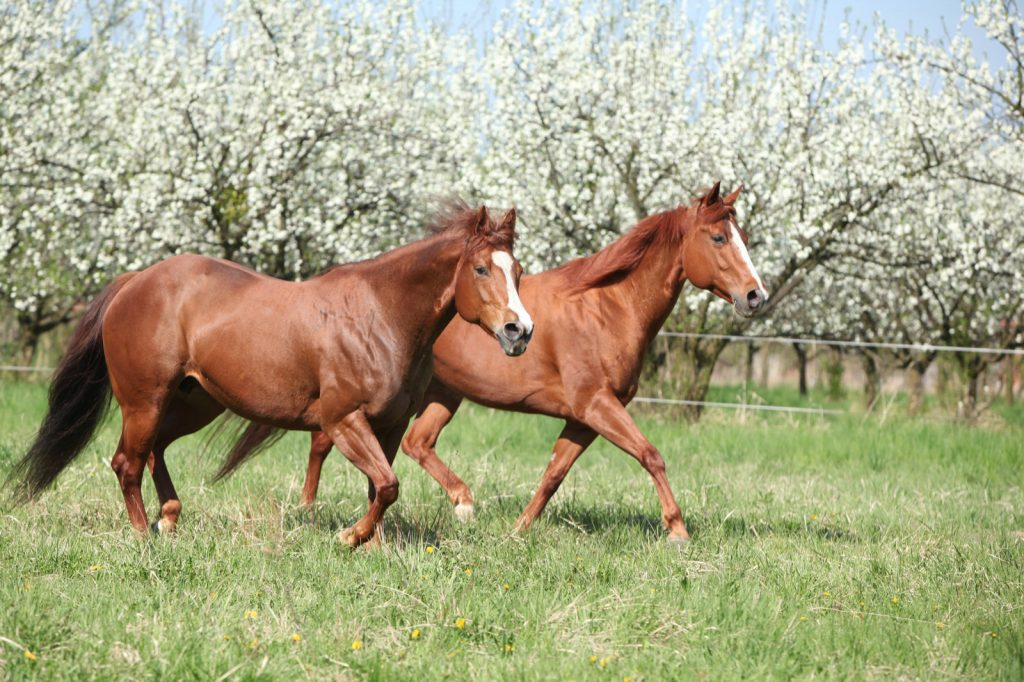 Two red quarter horses running in front of flowering trees