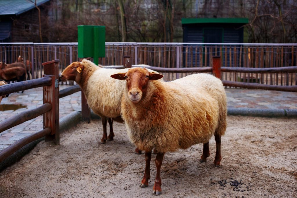 Two red sheep in a pen
