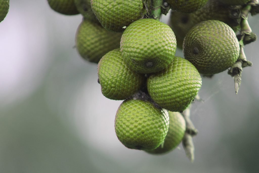 Unripe green buriti fruit hanging from a tree
