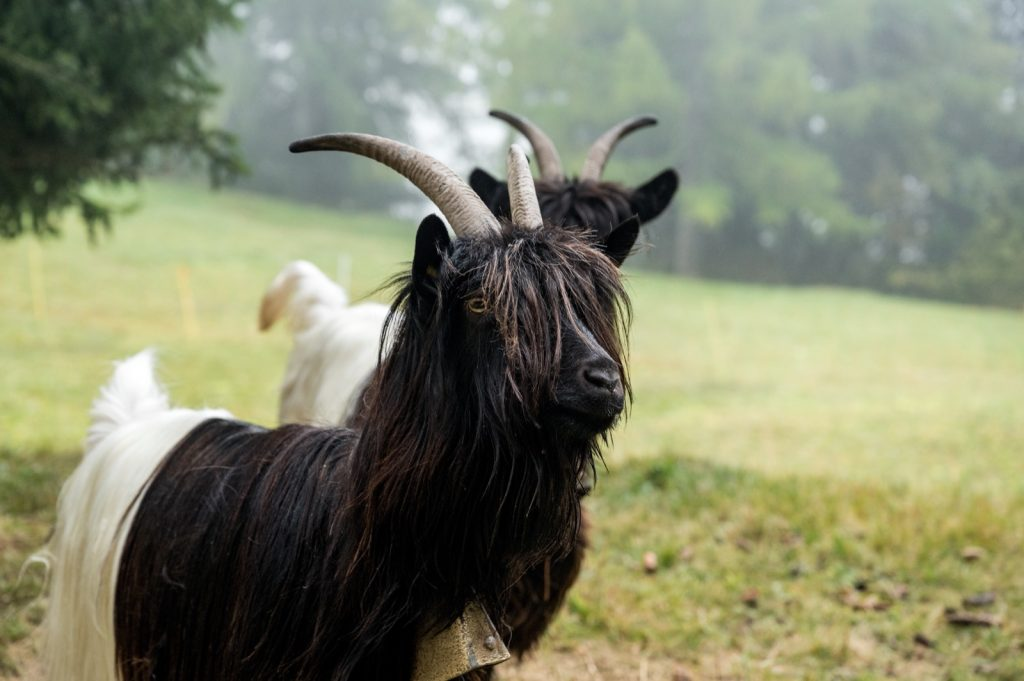 Black and white valais blackneck goats on a meadow