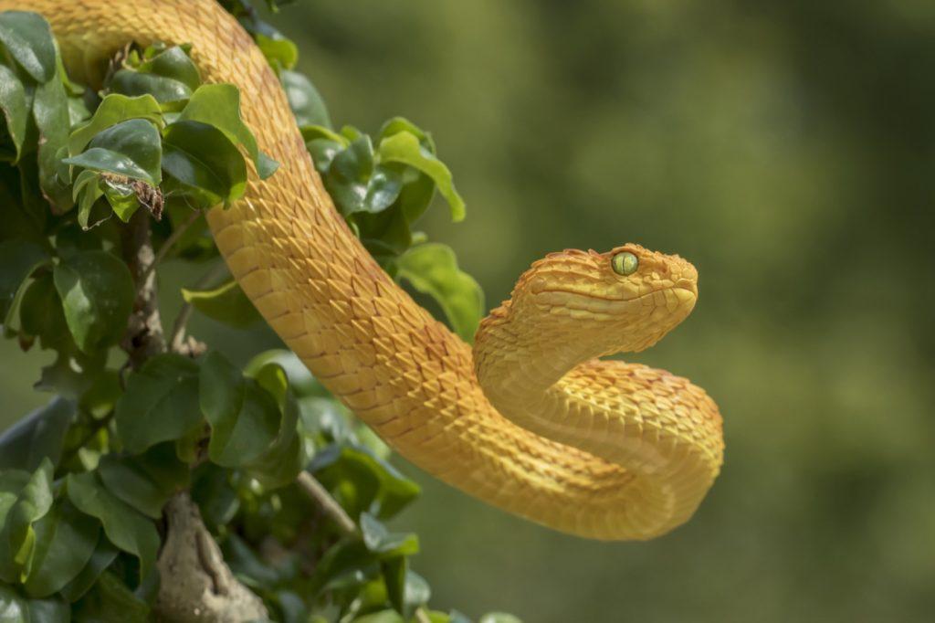 Venomous female variable bush viper aka Atheris Squamigera in bright orange and yellow colors