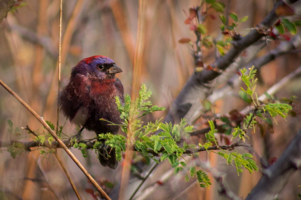 Varied Bunting sitting in a tree