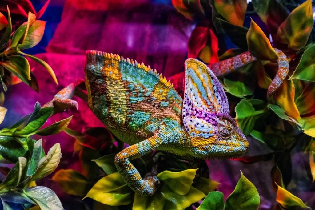 Veiled chameleon aka Chamaeleo Calyptratus in a terrarium