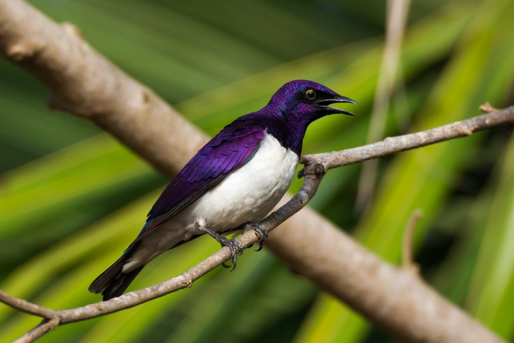 Male Violet-Backed Starling sitting on a small branch