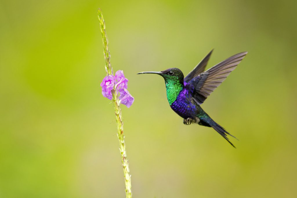 Close up of a Violet-crowned woodnymph in mid-air by a flower trying to drink the nectar
