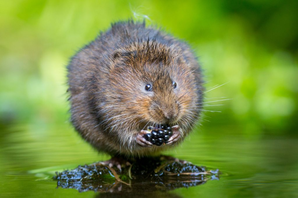 Little water Vole sitting on a small dry patch in the water eating a blackberry green blurred background