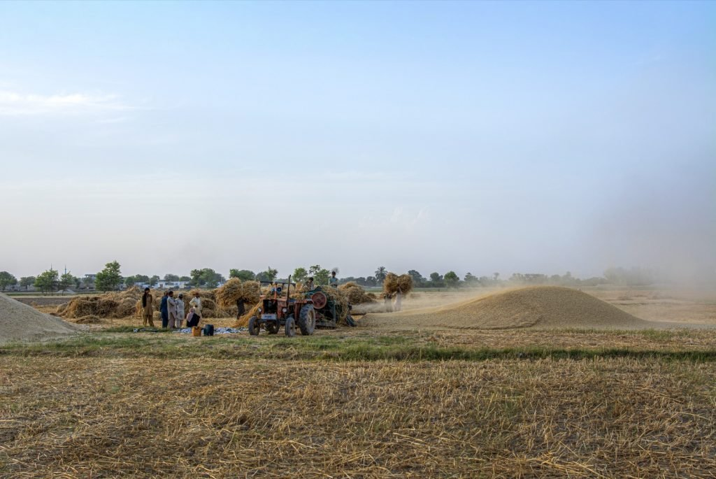 Wheat harvest photo showing brown grains of Pakistan
