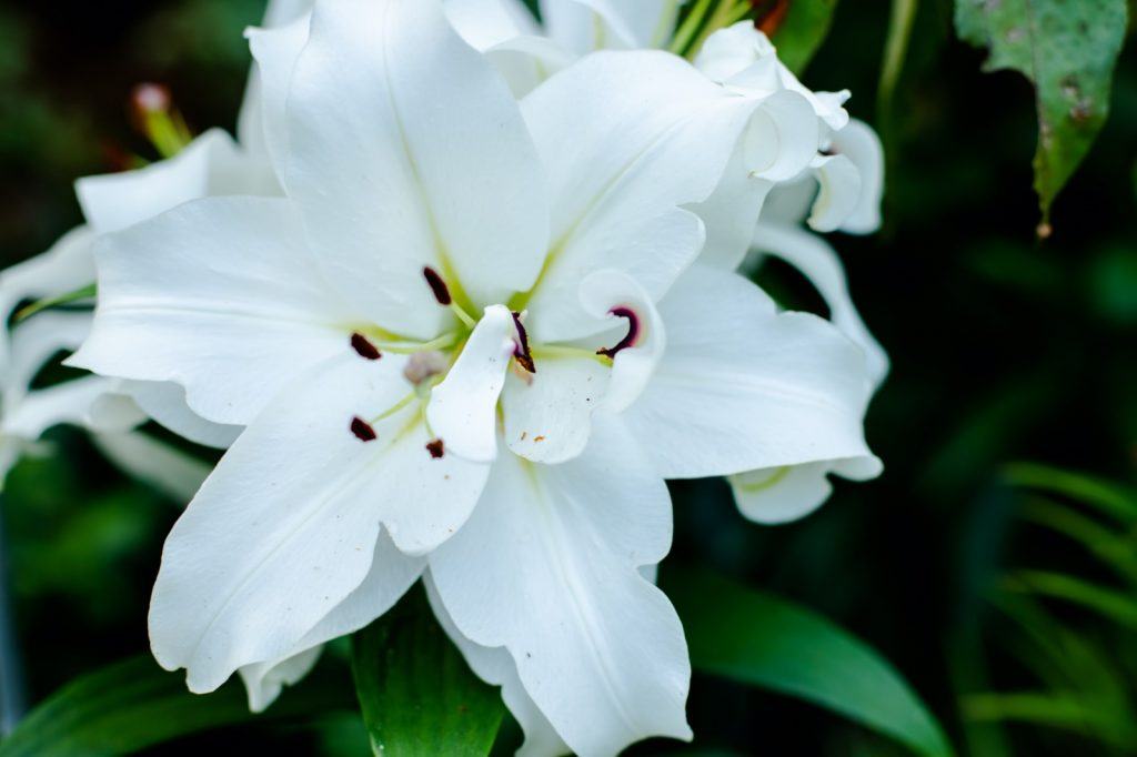 White lily in flower garden symbolizes purity