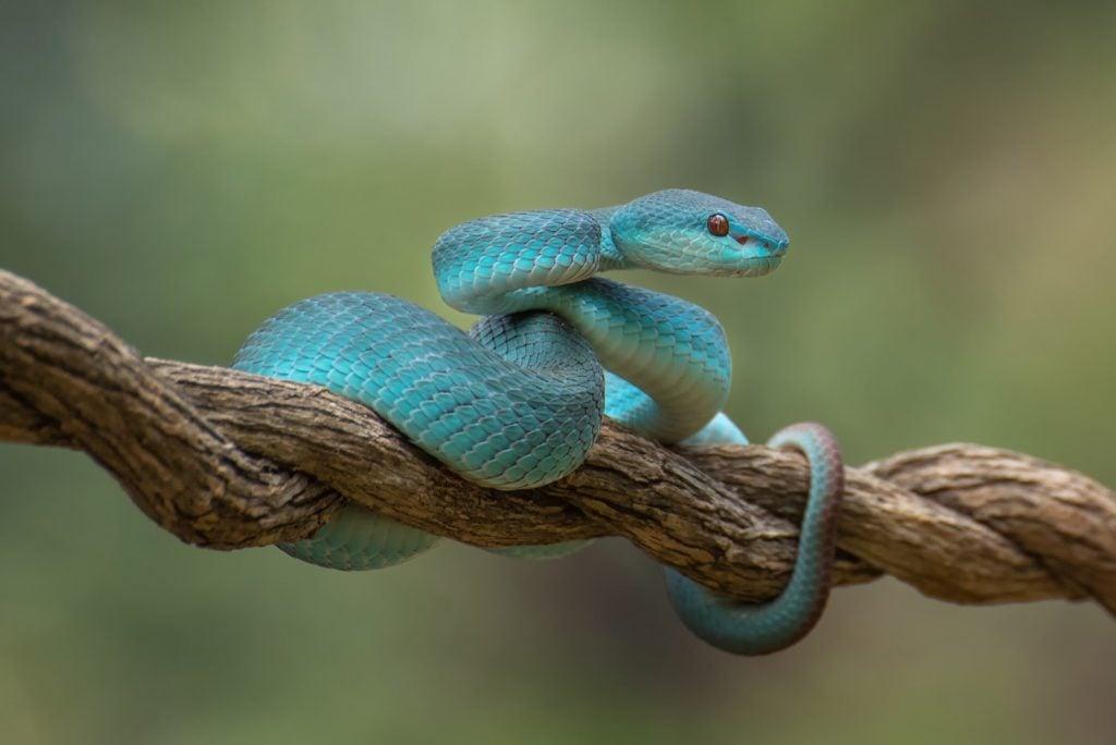 Blue white-lipped island pit viper aka Trimeresurus Insularis