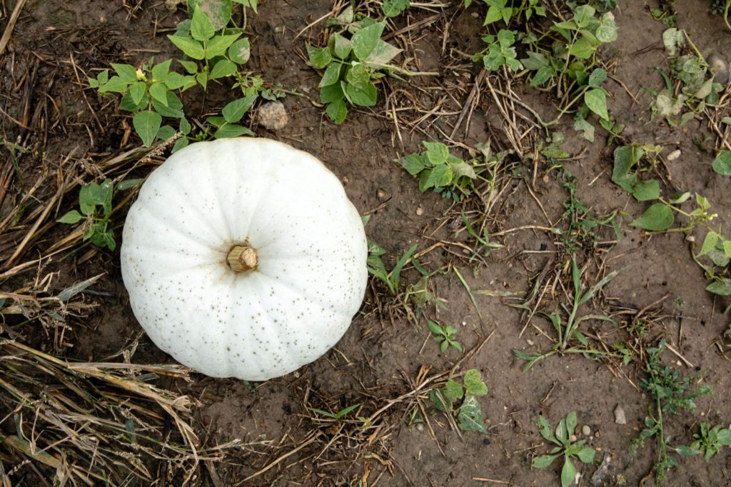 White pumpkin on the ground