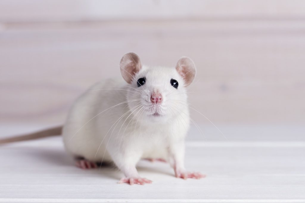 Closeup of white rat on wooden table