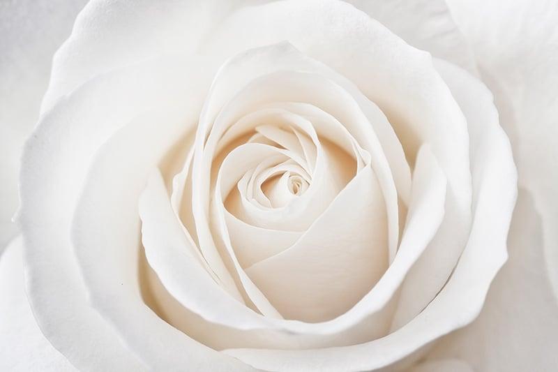 White Rose Close Up Macro