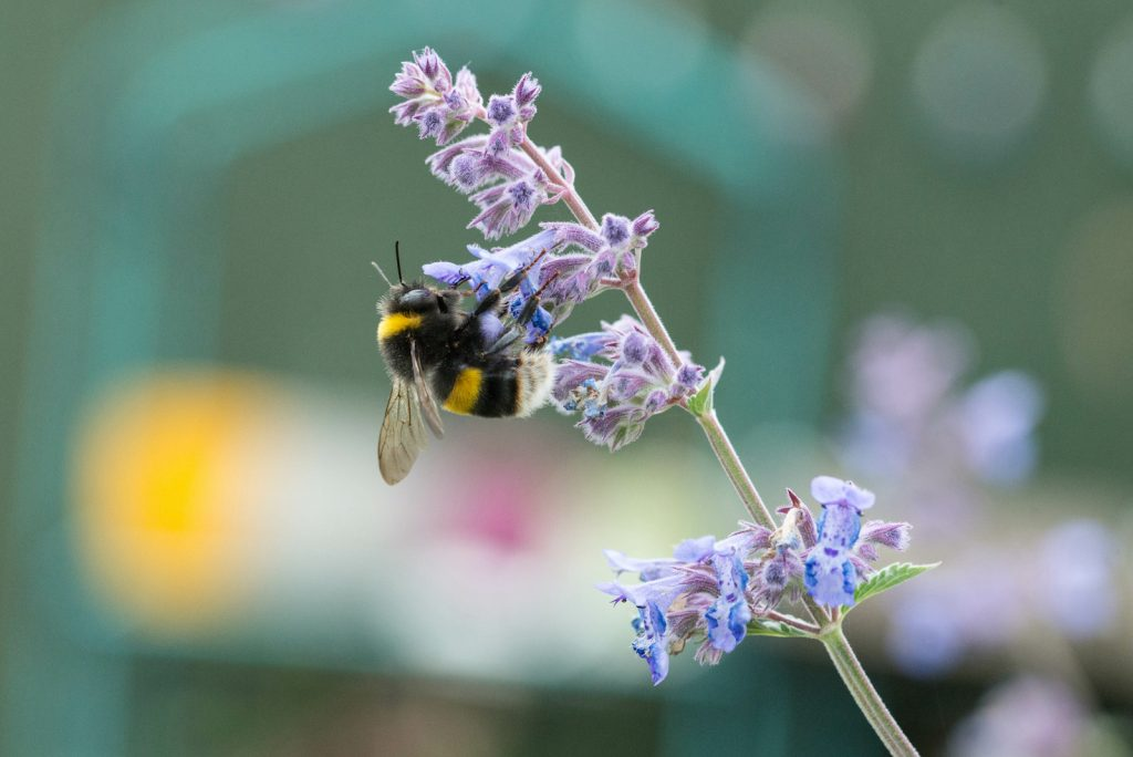 White tailed bumble bee on a catmint flower