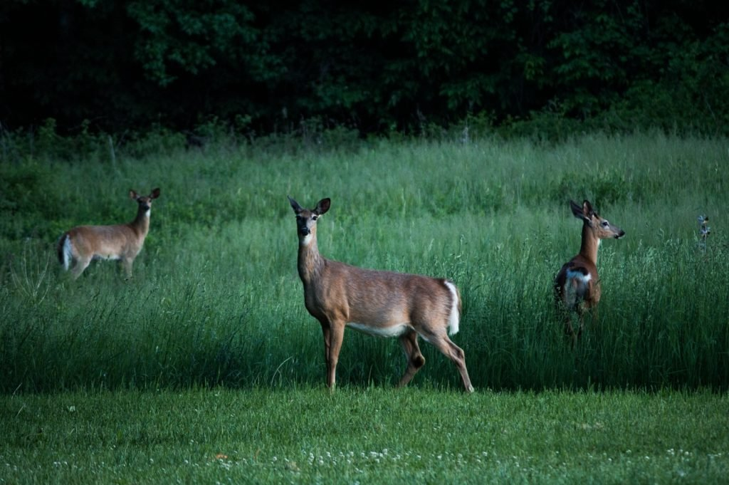 White-tailed deer standing in the middle of a green field looking in different directions at dusk