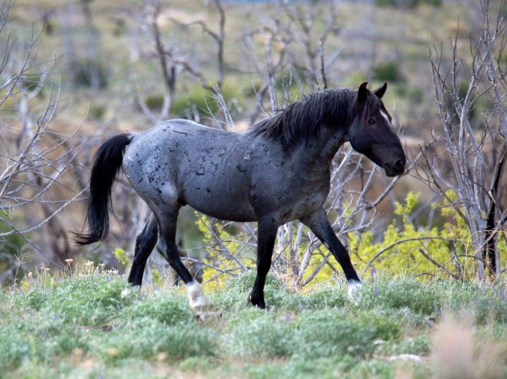 Wild blue roan horse in nature