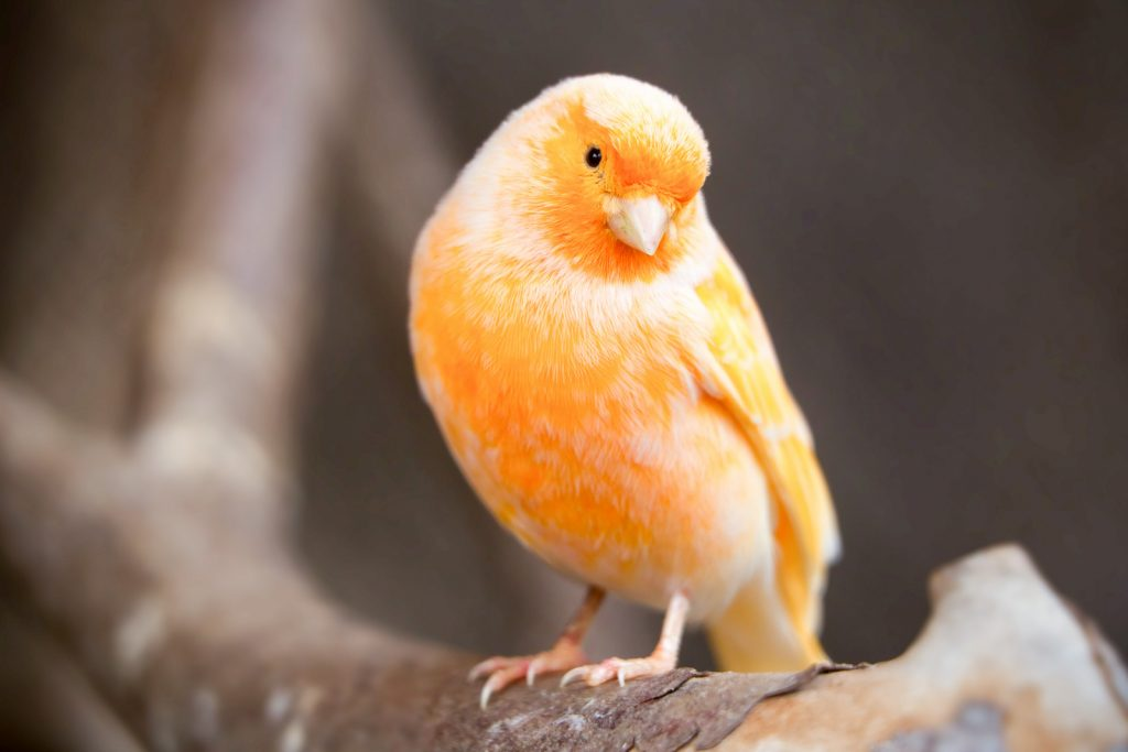 Young orange canary male in the wild