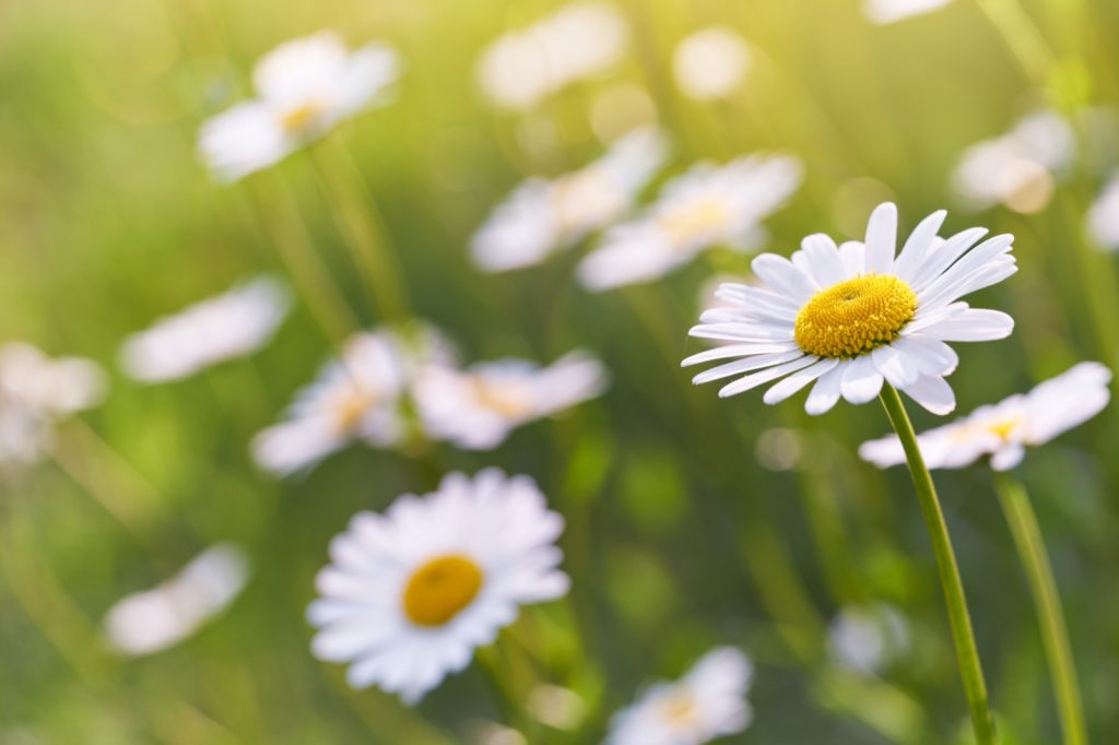 Wild daisy flowers growing on a meadow on a warm sunny day
