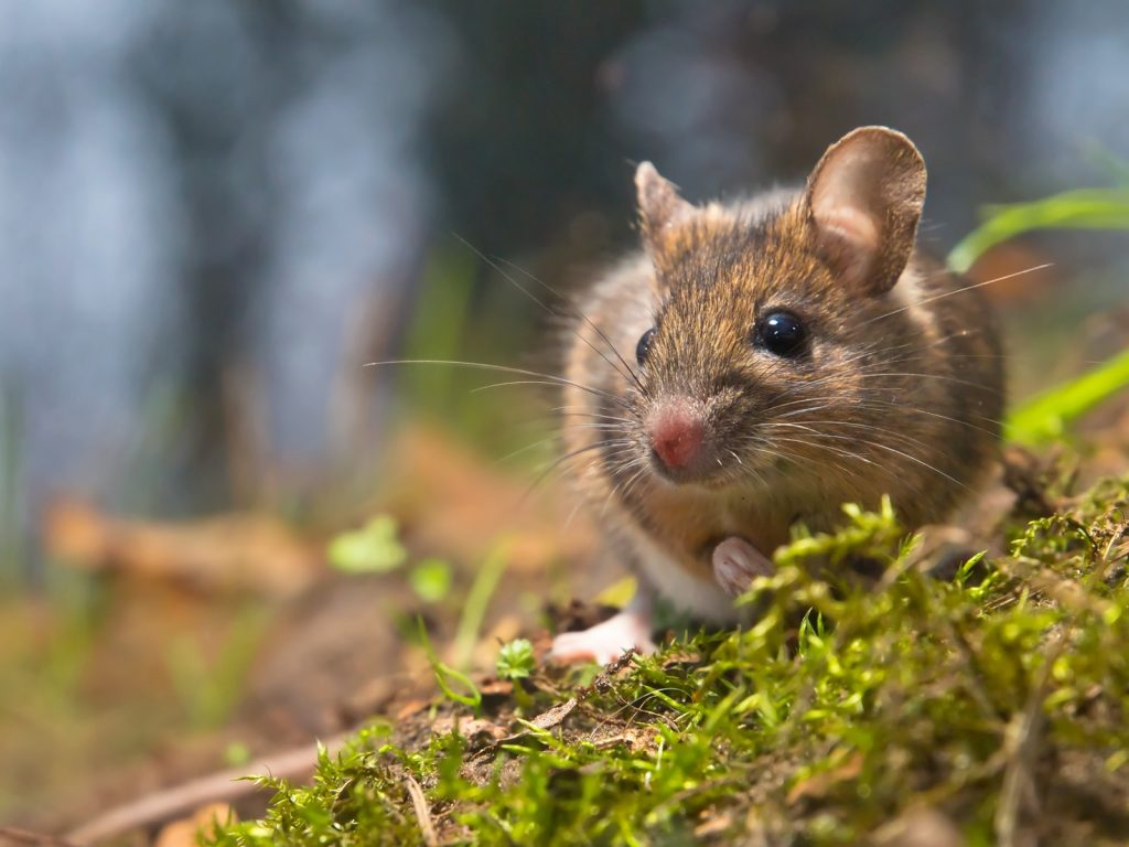 Wild wood mouse in its natural habitat in a green forest