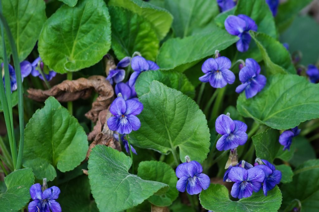Close up of wild violets blooming in the forrest