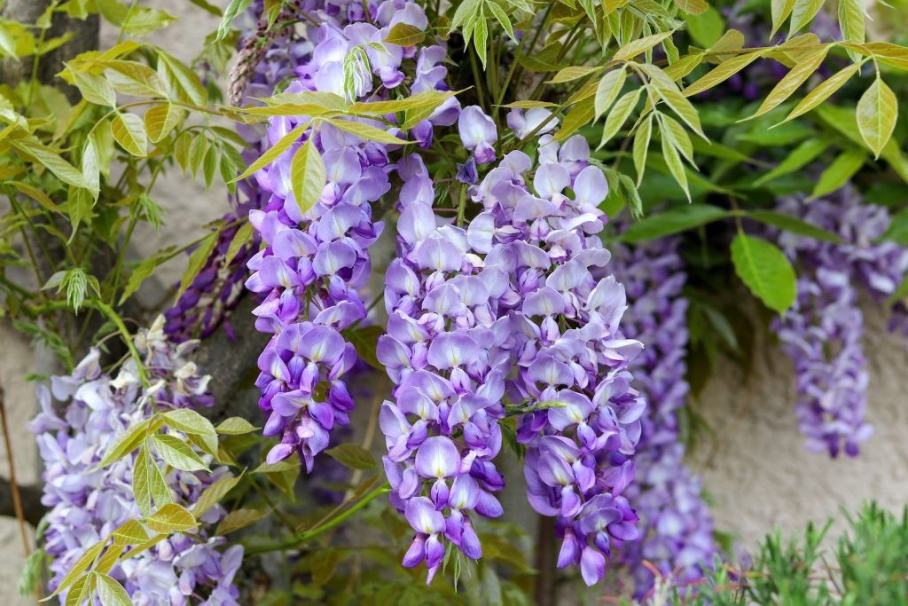 Close up of blossoming violet wisteria flowers