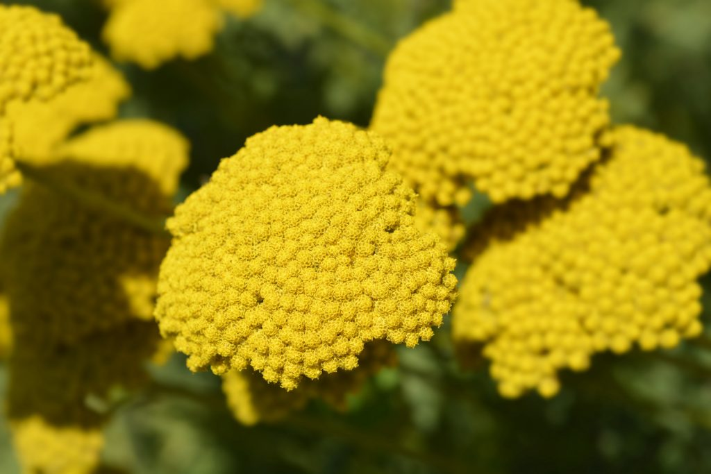 Closeup of gold plate yarrow flowers