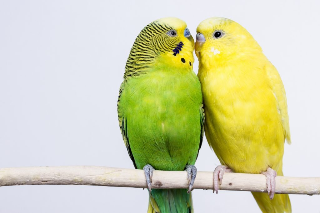 Bright yellow budgerigar sitting next to a green and yellow budgerigar on a twig