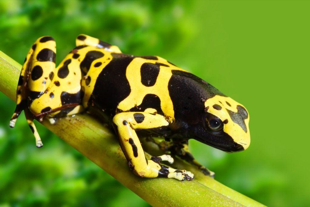 Yellow-banded poison dart frog aka Dendrobates Leucomelas