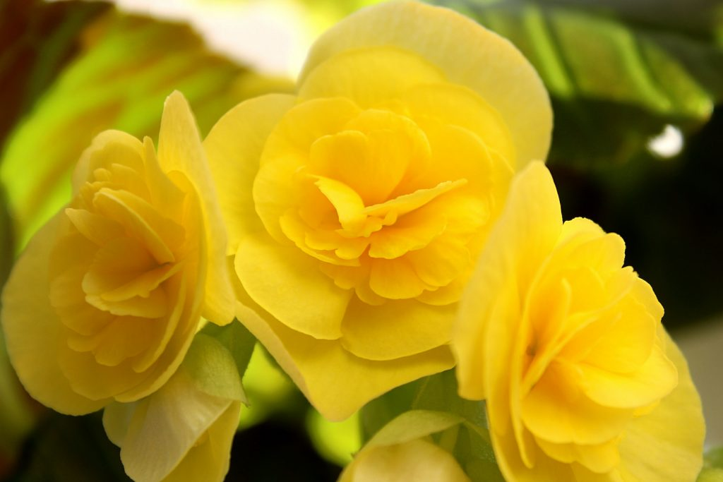 Closeup of yellow begonias in bloom