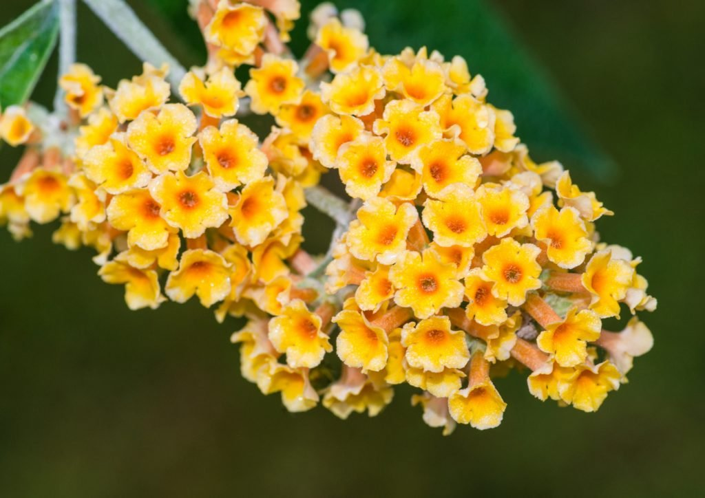 Closeup of a yellow butterfly bush flower in bloom