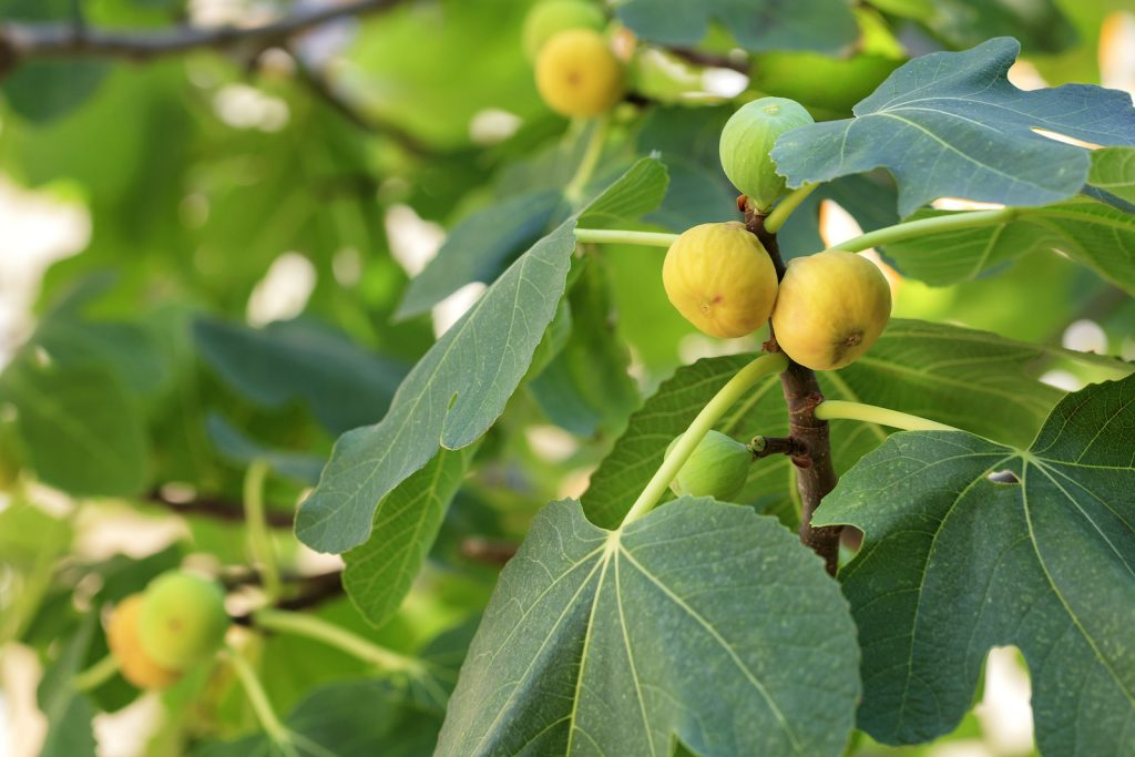 Fresh ripe yellow figs on a branch surrounded by green fig leaves on the tree