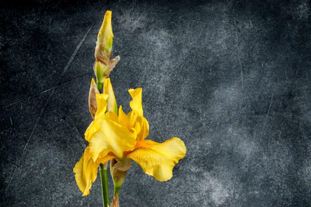 Closeup of yellow irises on dark gray background