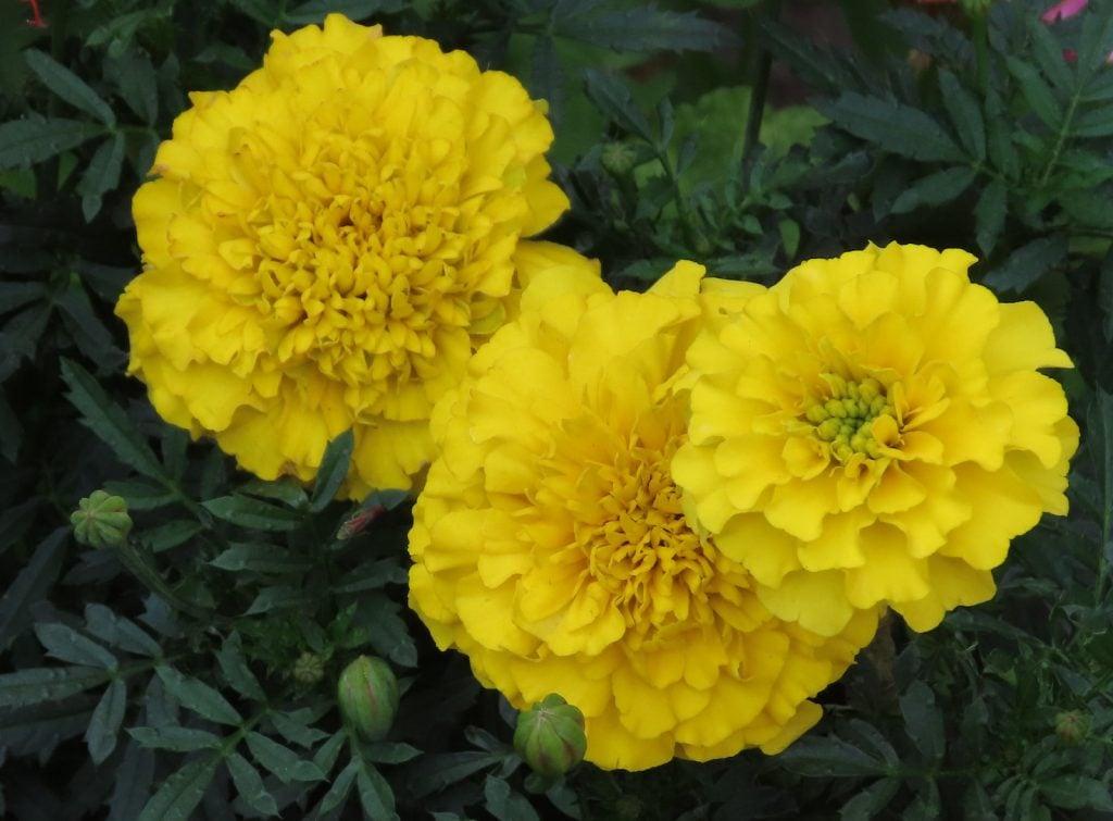 Closeup of yellow marigolds in a garden