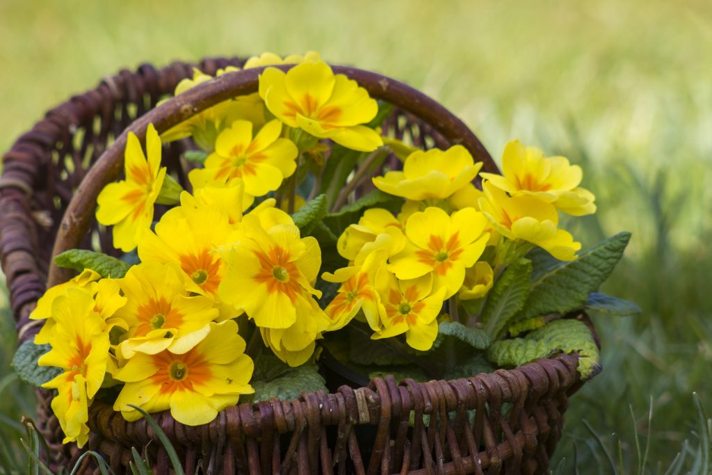 Blossoming yellow primrose in a basket standing on green grass in the garden