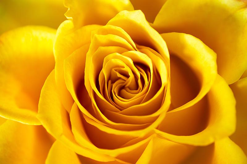 Yellow Rose Close Up Macro