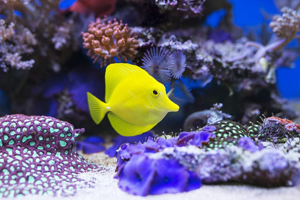 Single yellow tang in an aquarium surrounded by different purple color coral