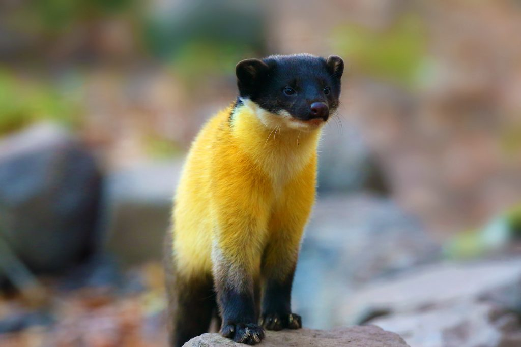 The yellow-throated marten standing on a tree trunk in the forrest